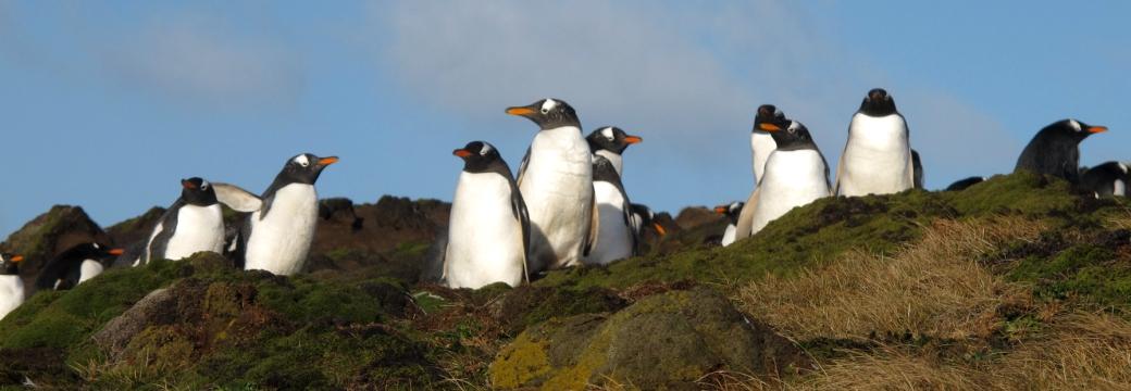 Pingouins malouins
